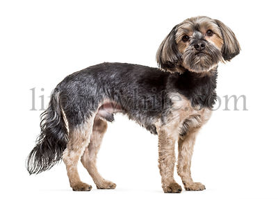 Yorkshire Terrier dog, 4 years old, standing against white background