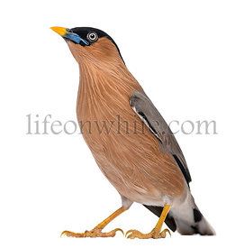 Brahminy Myna - Sturnia pagodarum - isolated on white