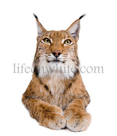 Cropped view of Eurasian Lynx, lynx lynx, 5 years old, studio shot