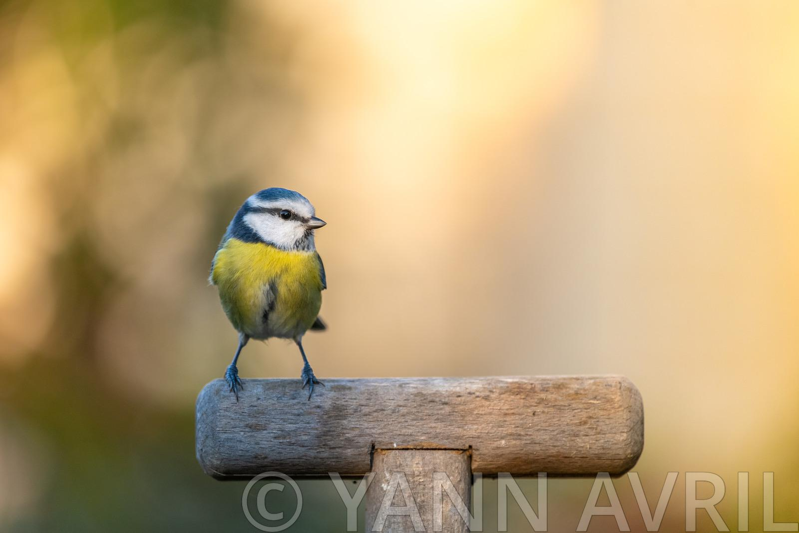 Cyanistes caeruleus-Blue tit on a spade handle