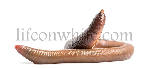 Common earthworm, Lumbricus terrestris, isolated on white