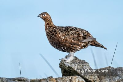 GROUSE 03A - Red grouse