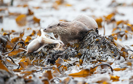 Otter with octopus haul