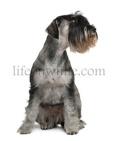 Schnauzer, 2 years old, sitting in front of white background