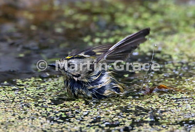 Goldcrest (Regulus regulus regulus) bathing in the garden pond, Lake District National Park, Cumbria, England