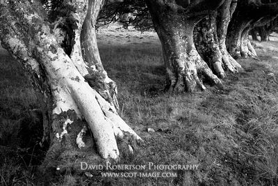 Row of Beech trees, Lammermuir Hills, East Lothian, Scotland.  Black and White
