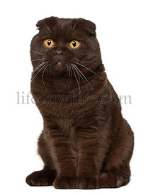 Scottish Fold cat, 18 months old, sitting in front of white background
