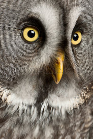 Portrait of Great Grey Owl or Lapland Owl, Strix nebulosa, a very large owl