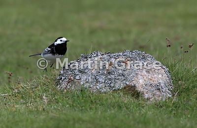 Pied Wagtail (Motacilla alba yarrellii) hopping up on to a lichen-covered rock, Glen Tanar, Aberdeenshire, Scotland
