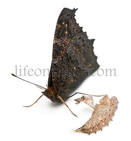 European Peacock butterfly, Inachis io, next to it\\\\'s cocoon in front of white background