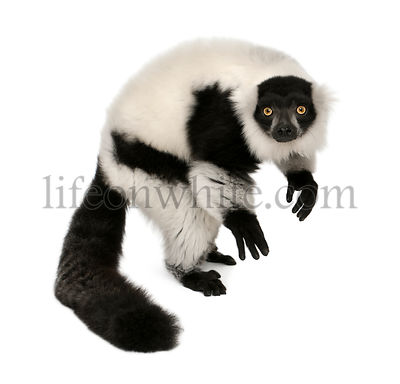 Northern black-and-white ruffed lemur, Varecia variegata, 24 years old, standing in front of white background