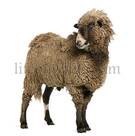 Crossbreed sheep standing in front of white background