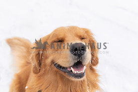 Golden retriever smiling in snow.