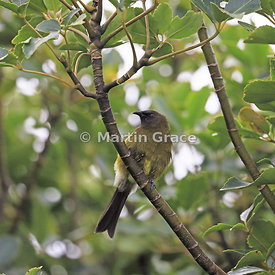 Bellbird (Anthornis melanura), Kapiti Island, North Island, New Zealand