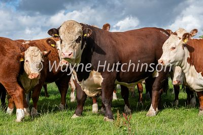 Pedigree Herford bull out in pasture with his herd of cattle. Cumbria, UK.