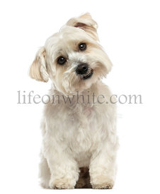 Front view of a Maltese sitting, looking at the camera, isolated on white