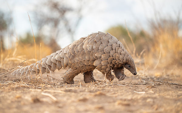 "In December 2019 the status of two African Pangolin species; the White-bellied and Giant were moved from ""vulnerable"" to ""end..."