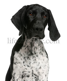 Close-up of German Shorthaired Pointer puppy, 4 months old, in front of white background