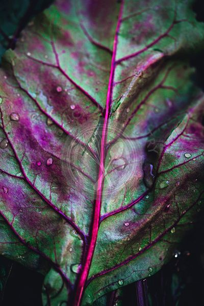 Beetroot leaf