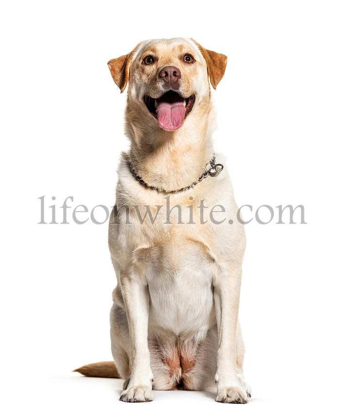 Panting Labrador, isolated on white