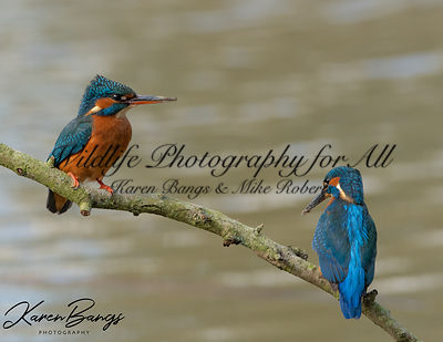 Knepp_Kingfishers_March_2019-37