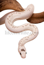 Black Rat Snake hanging from branch against white background