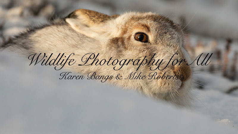 Mountain Hare - Karen Bangs