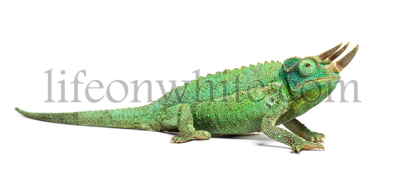 Jackson's horned chameleon looking up, Trioceros jacksonii, isolated on white against white background