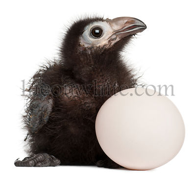 Ross\\\\'s Turaco, Musophaga rossae, with his hatched egg, 1 week old, in front of white background