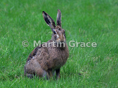 European Brown Hare (Lepus europaeus), Cairngorm National Park, Scotland