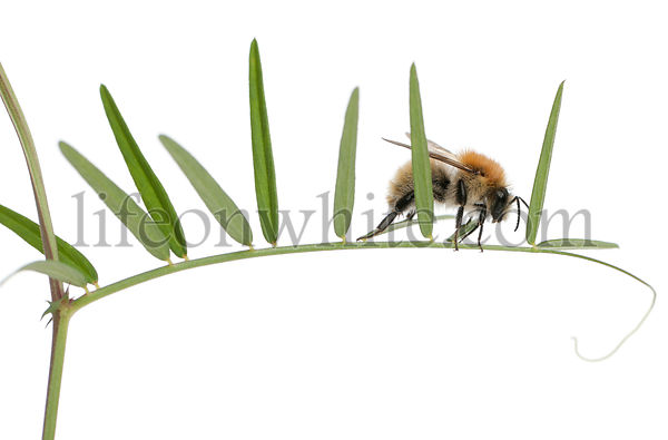 Common Carder-bee, Bombus pascuorum, on plant in front of white background