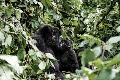 Mother mountain gorilla and her baby in virunga national park, DRC, Africa