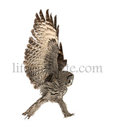 Side view of a Great Gray Owl landing, Strix nebulosa, isolated on white