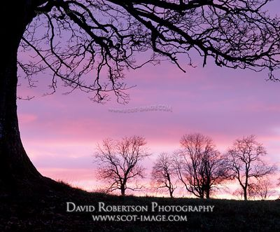 Image - Sycamore tree silhouette in winter