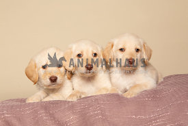Three cute yellow labrador puppies on pink blanket in studio