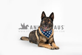 german shepherd wearing American flag bandana