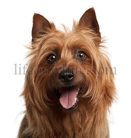 Australian Terrier, 8 years old, against white background