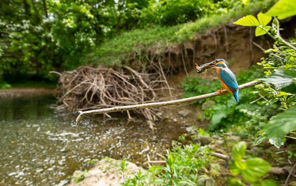 A wide angle shot of a male Kingfisher - more details on how this image and others were taken below