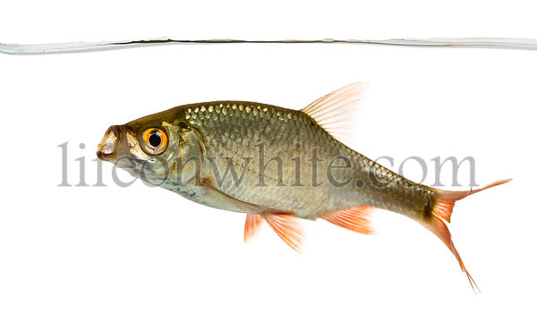 Common roach swimming under water line, mouth open, Rutilus rutilus, isolated on white