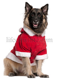 Belgian Shepherd dog or Tervuren wearing Santa outfit, 11 years old, sitting in front of white background