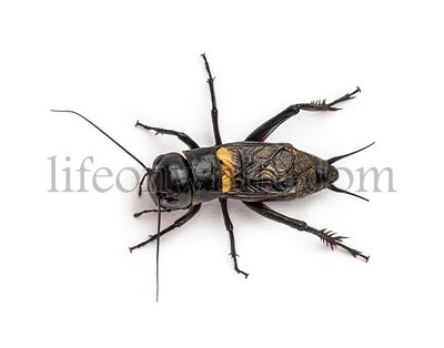Male field cricket, isolated on white
