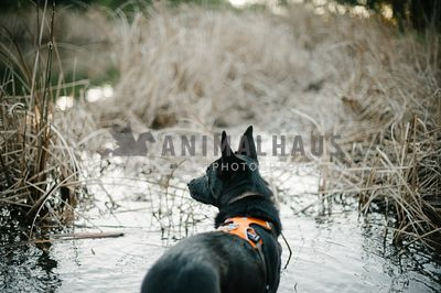 A black dog in an orange ruffwear harness standing on the edge of a wetland