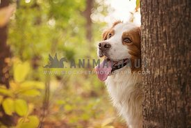 White and brown dog hiding behind a tree