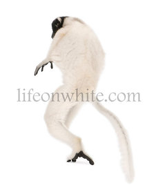 Young Crowned Sifaka, Propithecus Coronatus, 1 year old, studio shot
