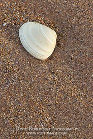 Image - Seashell on sand.  Seacliff beach, North Berwick, East Lothian, Scotland
