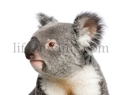 Portrait of male Koala bear, Phascolarctos cinereus, 3 years old, studio shot