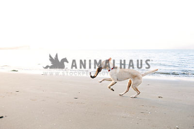 A dog running along the sandy ocean beach with a toy