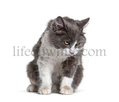 Sitting young Crossbreed cat white and grey looking down