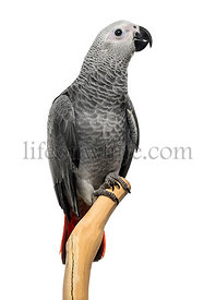 African Grey Parrot (3 months old) perched on a branch, isolated on white