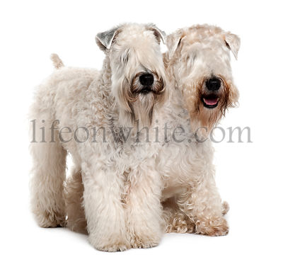 Two Soft-coated Wheaten Terriers, 1 year old, sitting in front of white background